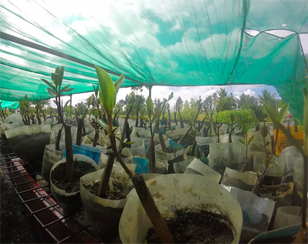 Mangrove nursery:  Photo © 2016 by Amy Hall.